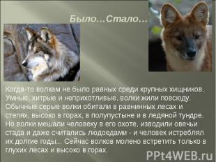Было…Стало… Когда-то волкам не было равных среди крупных хищников. Умные, хитрые
