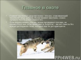 Главное в охоте Главное охотничье средство волка - его нос, улавливающий малейши