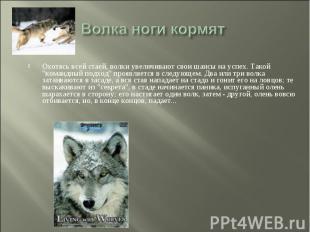 Волка ноги кормят Охотясь всей стаей, волки увеличивают свои шансы на успех. Так