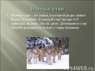 Волчья стая Волчья стая - это семья, в которой редко живет более 20 особей. В ка