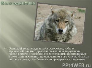 Волк-одиночка Одинокий волк передвигается осторожно, избегая территорий, занятых