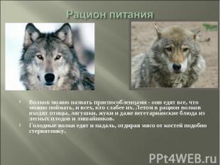 Рацион питания Волков можно назвать приспособленцами - они едят все, что можно п