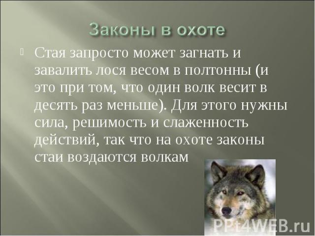 Законы в охоте Стая запросто может загнать и завалить лося весом в полтонны (и это при том, что один волк весит в десять раз меньше). Для этого нужны сила, решимость и слаженность действий, так что на охоте законы стаи воздаются волкам