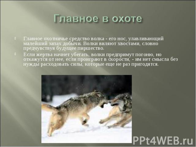 Главное в охоте Главное охотничье средство волка - его нос, улавливающий малейший запах добычи. Волки виляют хвостами, словно предчувствуя будущее пиршество. Если жертва начнет убегать, волки предпримут погоню, но откажутся от нее, если проиграют в …