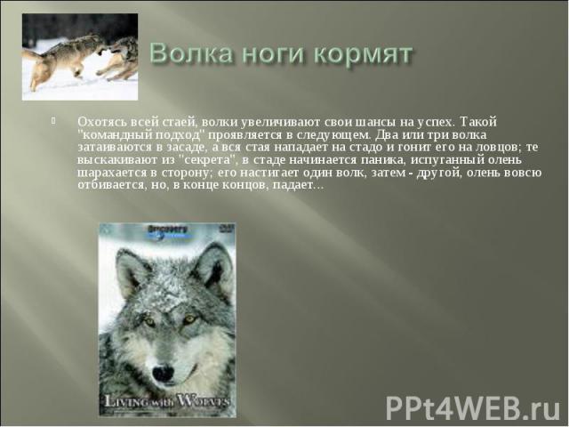 Волка ноги кормят Охотясь всей стаей, волки увеличивают свои шансы на успех. Такой