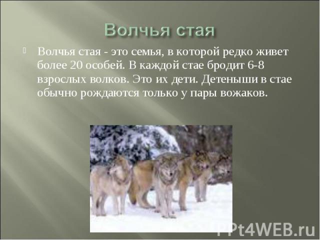 Волчья стая Волчья стая - это семья, в которой редко живет более 20 особей. В каждой стае бродит 6-8 взрослых волков. Это их дети. Детеныши в стае обычно рождаются только у пары вожаков.