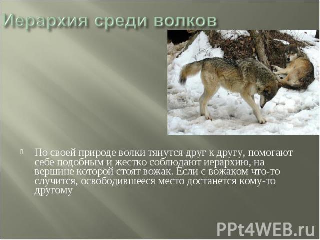 Иерархия среди волков По своей природе волки тянутся друг к другу, помогают себе подобным и жестко соблюдают иерархию, на вершине которой стоят вожак. Если с вожаком что-то случится, освободившееся место достанется кому-то другому