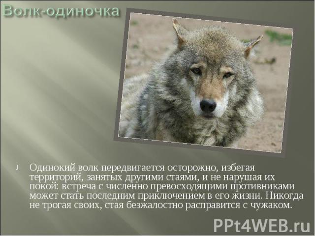Волк-одиночка Одинокий волк передвигается осторожно, избегая территорий, занятых другими стаями, и не нарушая их покой: встреча с численно превосходящими противниками может стать последним приключением в его жизни. Никогда не трогая своих, стая безж…