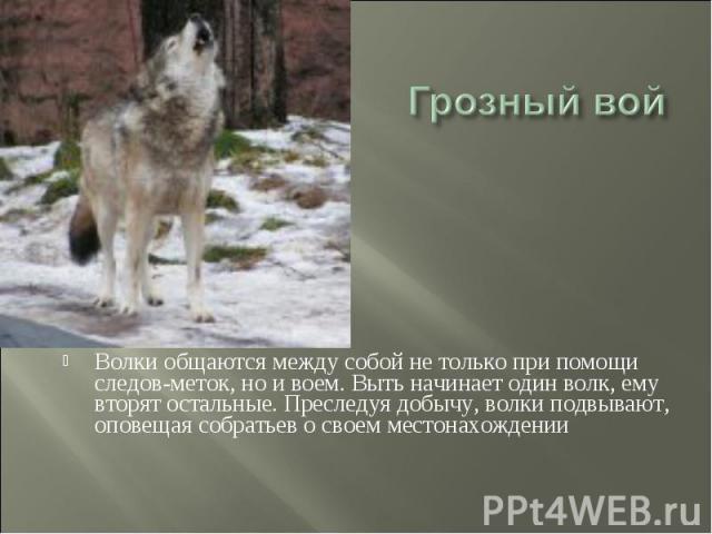 Грозный вой Волки общаются между собой не только при помощи следов-меток, но и воем. Выть начинает один волк, ему вторят остальные. Преследуя добычу, волки подвывают, оповещая собратьев о своем местонахождении