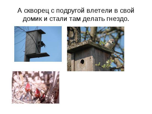 А скворец с подругой влетели в свой домик и стали там делать гнездо.