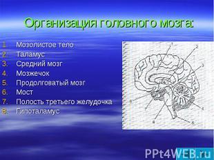 Организация головного мозга: Мозолистое тело Таламус Средний мозг Мозжечок Продо