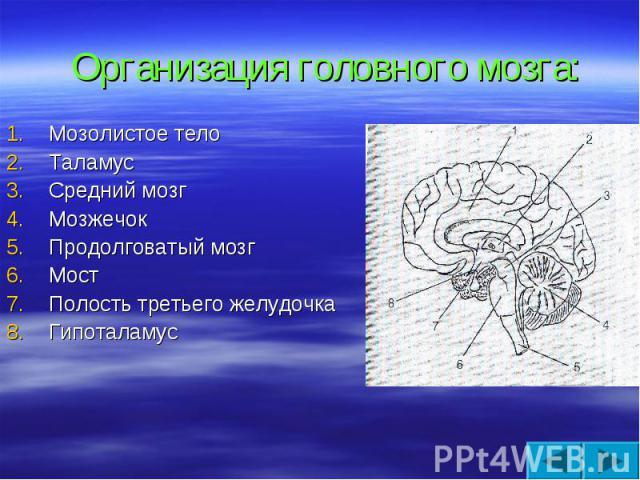 Организация головного мозга: Мозолистое тело Таламус Средний мозг Мозжечок Продолговатый мозг Мост Полость третьего желудочка Гипоталамус