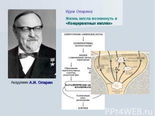 Идеи Опарина: Жизнь могла возникнуть в «Коацерватных каплях» Академик А.И. Опари