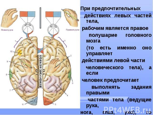 При предпочтительных действиях левых частей тела, рабочим является правое полушарие головного мозга (то есть именно оно управляет действиями левой части человеческого тела), а если человек предпочитает выполнять задания правыми частями тела (ведущие…