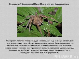 Бразильский Блуждающий Паук (Phoneutria) или банановый паук Эта мерзость попала