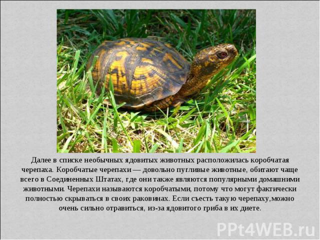 Далее в списке необычных ядовитых животных расположилась коробчатая черепаха. Коробчатые черепахи — довольно пугливые животные, обитают чаще всего в Соединенных Штатах, где они также являются популярными домашними животными. Черепахи называются коро…