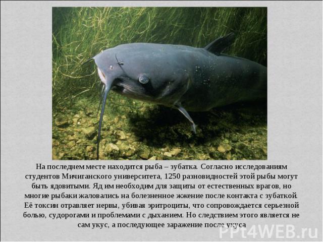 На последнем месте находится рыба – зубатка. Согласно исследованиям студентов Мичиганского университета, 1250 разновидностей этой рыбы могут быть ядовитыми. Яд им необходим для защиты от естественных врагов, но многие рыбаки жаловались на болезненно…