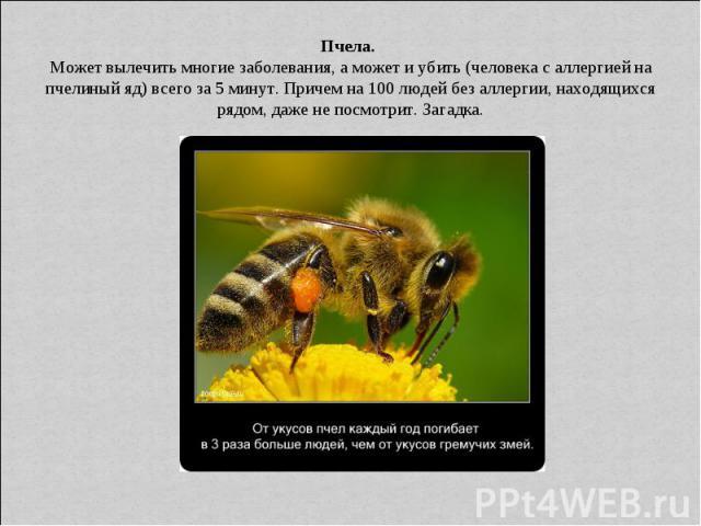Пчела. Может вылечить многие заболевания, а может и убить (человека с аллергией на пчелиный яд) всего за 5 минут. Причем на 100 людей без аллергии, находящихся рядом, даже не посмотрит. Загадка.