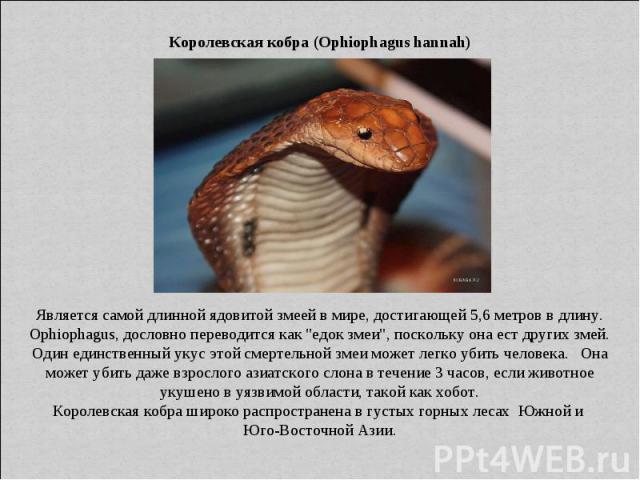 Королевская кобра (Ophiophagus hannah) Является самой длинной ядовитой змеей в мире, достигающей 5,6 метров в длину. Ophiophagus, дословно переводится как