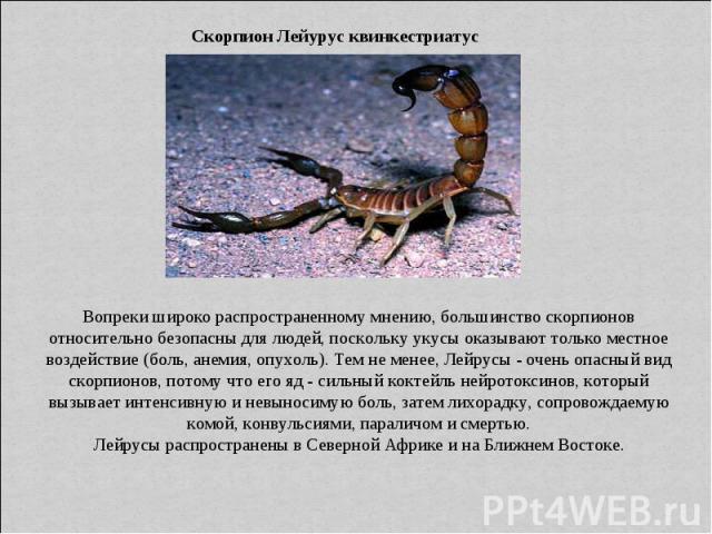 Скорпион Лейурус квинкестриатус Вопреки широко распространенному мнению, большинство скорпионов относительно безопасны для людей, поскольку укусы оказывают только местное воздействие (боль, анемия, опухоль). Тем не менее, Лейрусы - очень опасный вид…