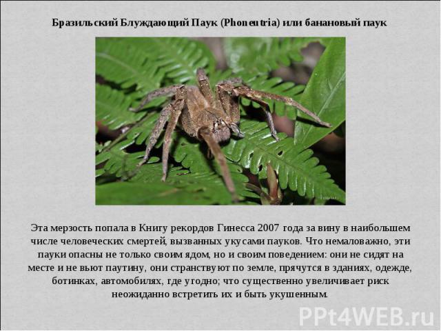 Бразильский Блуждающий Паук (Phoneutria) или банановый паук Эта мерзость попала в Книгу рекордов Гинесса 2007 года за вину в наибольшем числе человеческих смертей, вызванных укусами пауков. Что немаловажно, эти пауки опасны не только своим ядом, но …
