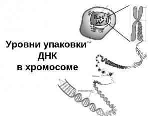 Уровни упаковки ДНК в хромосоме