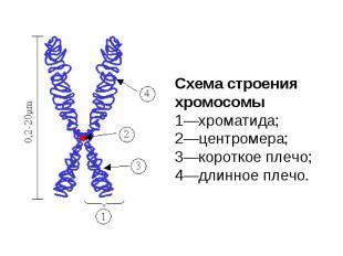 Схема строения хромосомы 1—хроматида; 2—центромера; 3—короткое плечо; 4—длинное