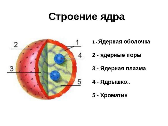 Строение ядра 1 - Ядерная оболочка 2 - ядерные поры 3 - Ядерная плазма 4 - Ядрышко.. 5 - Хроматин