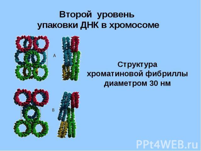 Второй уровень упаковки ДНК в хромосоме Структура хроматиновой фибриллы диаметром 30 нм