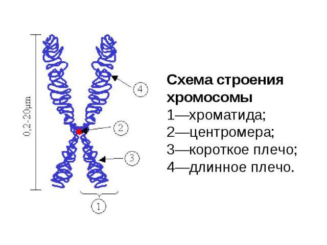 Схема строения хромосомы 1—хроматида; 2—центромера; 3—короткое плечо; 4—длинное плечо.