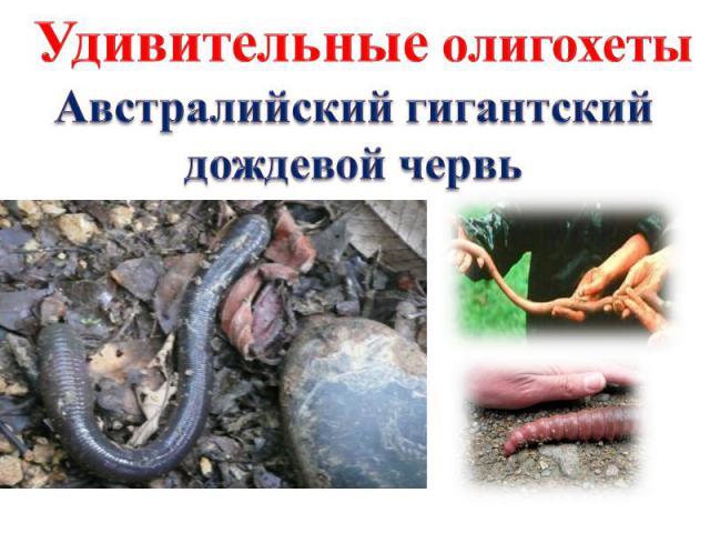 Удивительные олигохеты Австралийский гигантский дождевой червь
