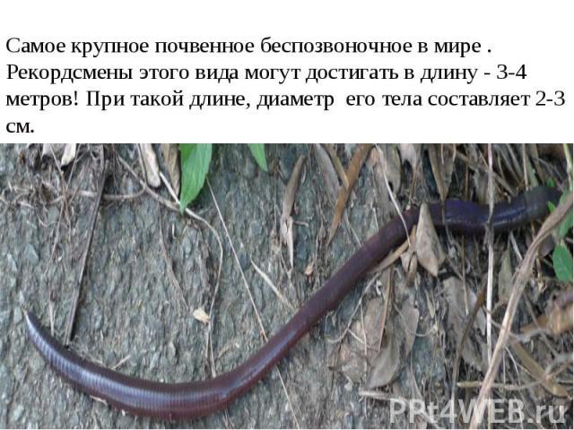 Самое крупное почвенное беспозвоночное в мире . Рекордсмены этого вида могут достигать в длину - 3-4 метров! При такой длине, диаметр его тела составляет 2-3 см.