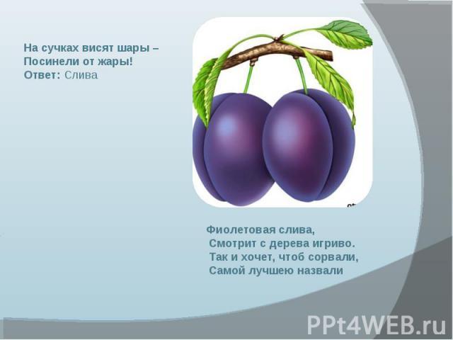 На сучках висят шары – Посинели от жары! Ответ: Слива Фиолетовая слива, Смотрит с дерева игриво. Так и хочет, чтоб сорвали, Самой лучшею назвали