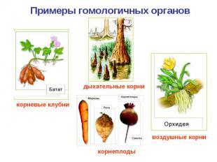 Примеры гомологичных органов корневые клубни дыхательные корни корнеплоды воздуш