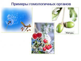 Примеры гомологичных органов Парашютик одуванчика Крылатка клена Костянка вишни