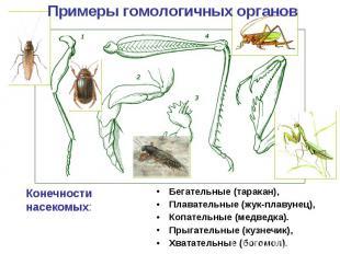 Примеры гомологичных органов Конечности насекомых: Бегательные (таракан), Плават