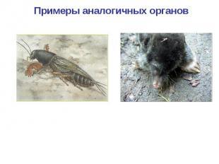 Примеры аналогичных органов Копательные конечности медведки Копательные конечнос