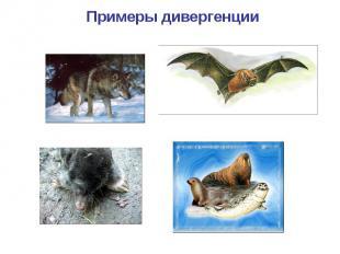 Примеры дивергенции Волк Летучая мышь Крот Ластоногие