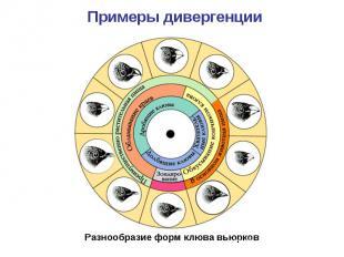 Примеры дивергенции Разнообразие форм клюва вьюрков
