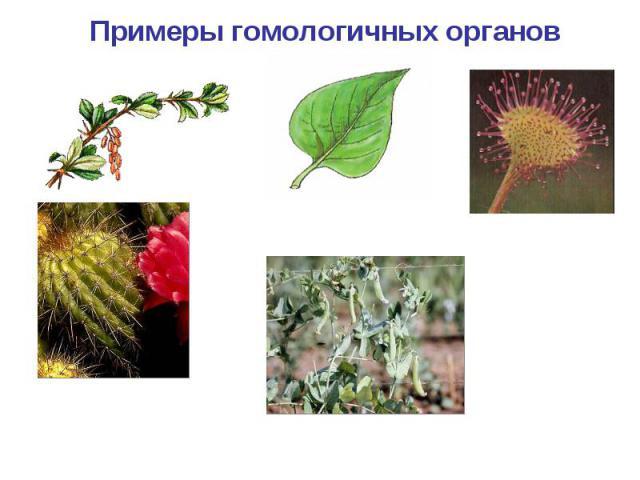 Примеры гомологичных органов Черешковый простой лист сирени насекомоядный лист росянки колючки барбариса и кактуса усик гороха