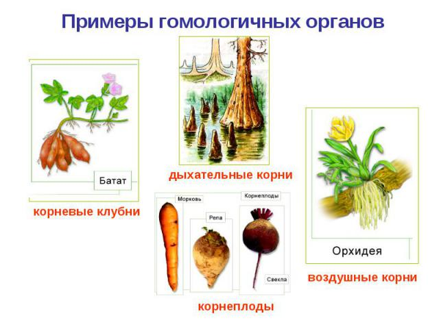 Примеры гомологичных органов корневые клубни дыхательные корни корнеплоды воздушные корни