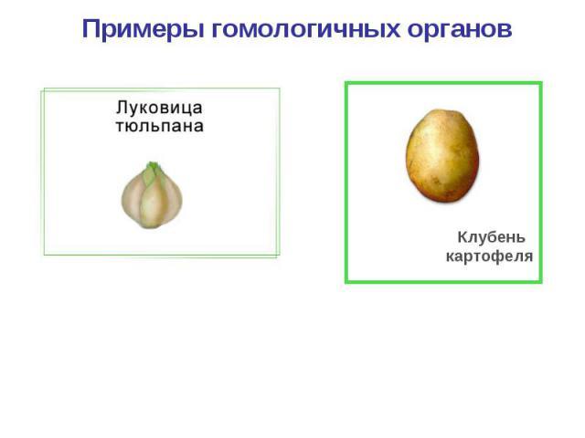Примеры гомологичных органов