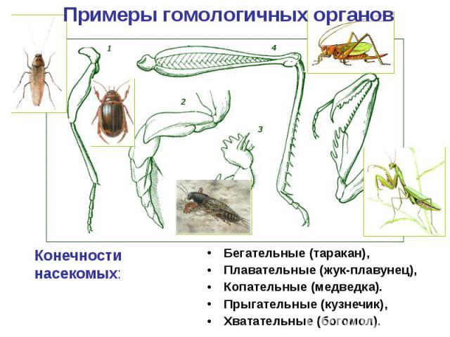 Примеры гомологичных органов Конечности насекомых: Бегательные (таракан), Плавательные (жук-плавунец), Копательные (медведка). Прыгательные (кузнечик), Хватательные (богомол).