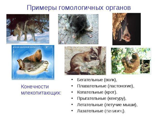 Примеры гомологичных органов Конечности млекопитающих: Бегательные (волк), Плавательные (ластоногие), Копательные (крот). Прыгательные (кенгуру), Летательные (летучие мыши), Лазательные (ленивец).