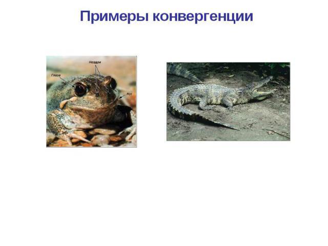 Примеры конвергенции Лягушка Крокодил