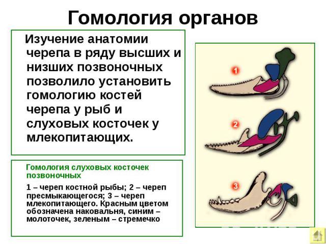 Гомология органов Изучение анатомии черепа в ряду высших и низших позвоночных позволило установить гомологию костей черепа у рыб и слуховых косточек у млекопитающих. Гомология слуховых косточек позвоночных 1–череп костной рыбы; 2–череп пресмыкаю…