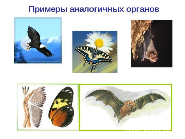 Примеры аналогичных органов Крыло птицы Крыло бабочки Крыло летучей мыши