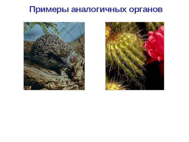 Примеры аналогичных органов Колючки ежа Колючки кактуса