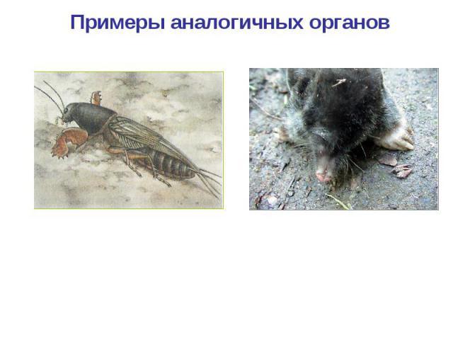 Примеры аналогичных органов Копательные конечности медведки Копательные конечности крота