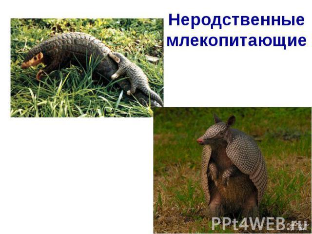 Неродственные млекопитающие Панголин Африка Отряд панголины (ящеры) Броненосец Южная Америка Отряд: Неполнозубые